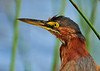 Green Heron<br /> Viera Wetlands<br /> Melbourne, Florida<br /> 116-9872b