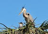 Great Blue Herons with Chicks<br /> Viera Wetlands<br /> Melbourne, Florida<br /> 132-2785a