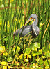 Tri-color Heron <br /> Viera Wetlands<br /> Melbourne, Florida<br /> 126-1830a