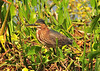 Little Green Heron<br /> Viera Wetlands<br /> Melbourne, Florida<br /> 126-1888a