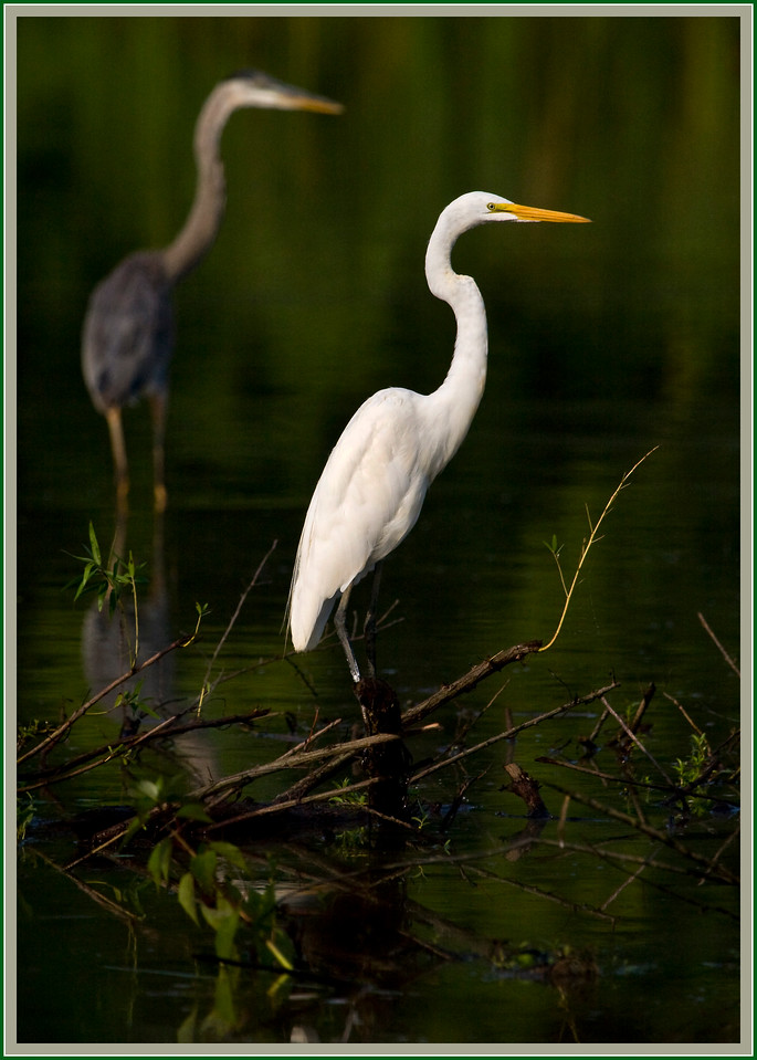 'Me and My Shadow'<br /> <br /> Egret and Heron