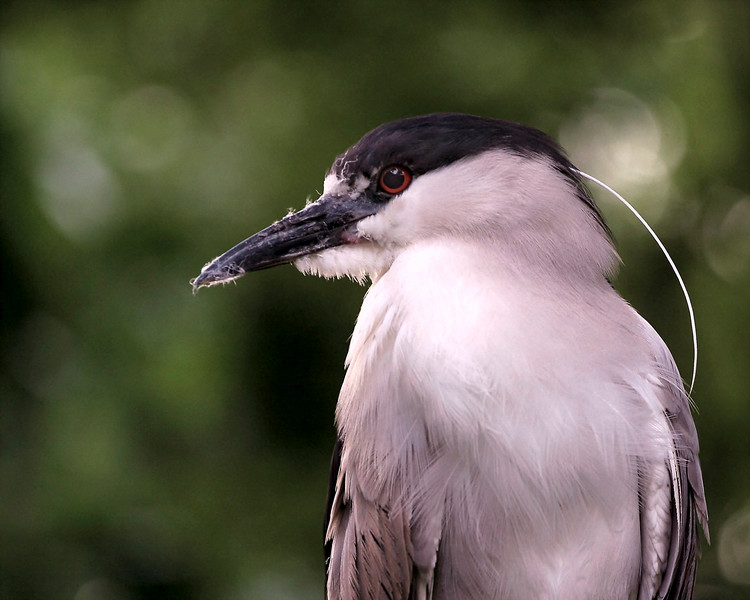 Black Crowned Night Heron taken at the National Zoo where they have a small population of 'wild' herons.