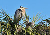 Great Blue Herons with Chicks<br /> Viera Wetlands<br /> Melbourne, Florida<br /> 132-2953a