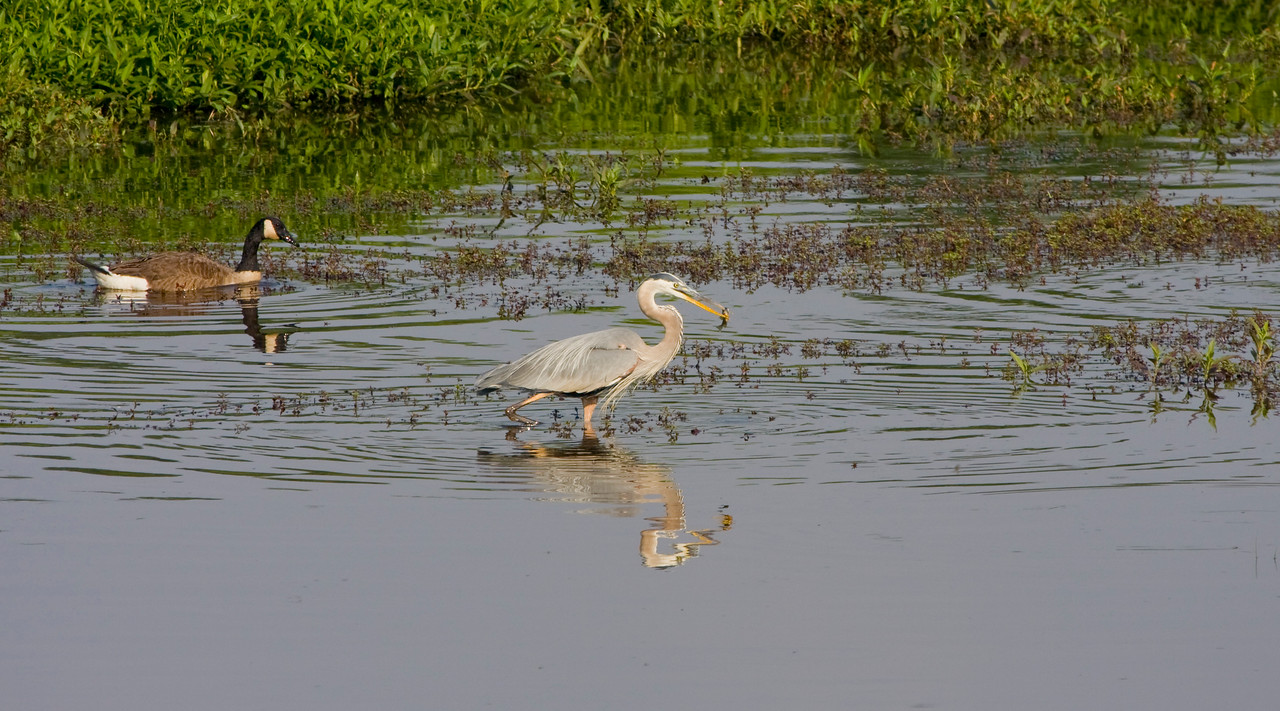Great Blue Heron with snack