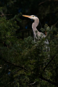 Great Blue Heron, this one has a taste for goldfish.