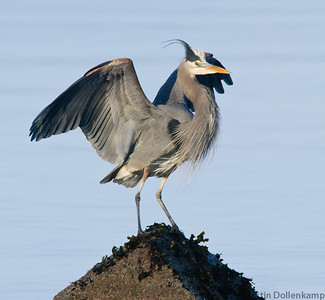 Great Glue Heron