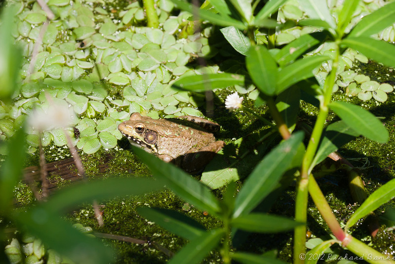 Frog, Anahuac Nature Center
