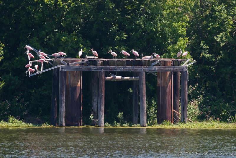 Roseate spoonbills, High Island, Tx.