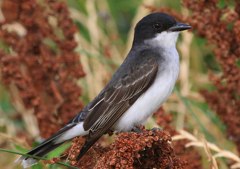 Kingbird, taken at Anahuac NWR's East property.