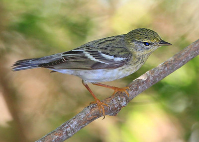 adult breeding female Blackpoll Warbler