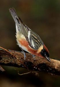 Bay-breasted Warbler.