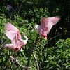 Roseate spoonbills, High Island, TX