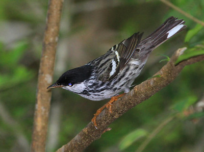 male Blackpoll Warbler.