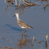 Lesser yellowlegs (I think), Anahuac National Wildlife Refuge