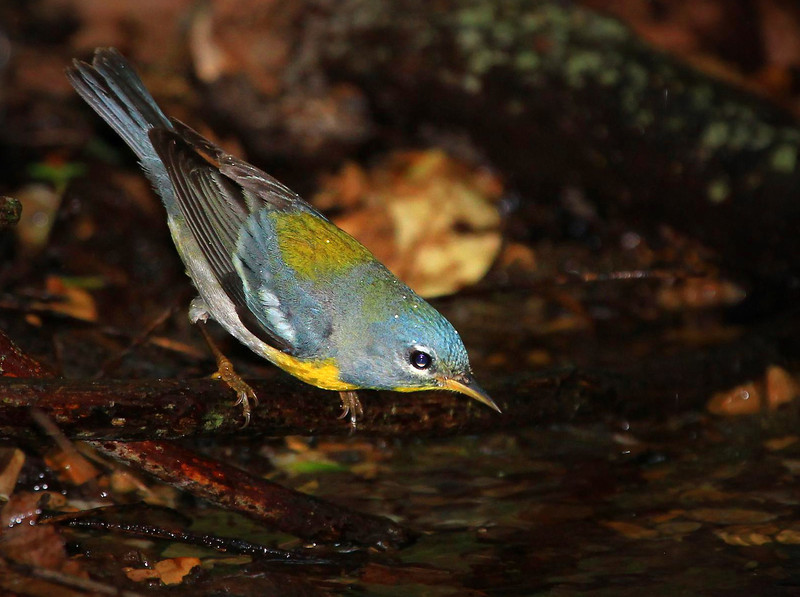 male Northern Parula.