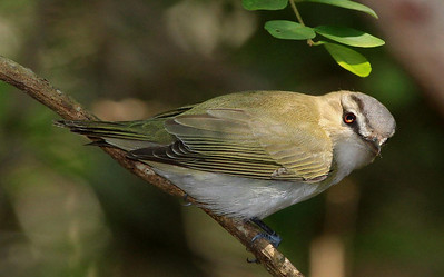 Red-eyed Vireo.