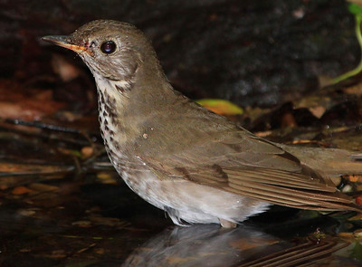 Lake Houston Area Nature Club has offered this up as a Gray-cheeked Thrush, a regular High Island sighting in spring migrations. A big thank you to my fellow birders!