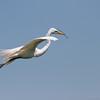 Great egret, High Island, TX