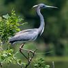 Tri-colored heron, High Island, TX