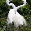 """Love Birds II"", Great egrets, High Island, TX"