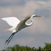 Great egret, High Island, TX