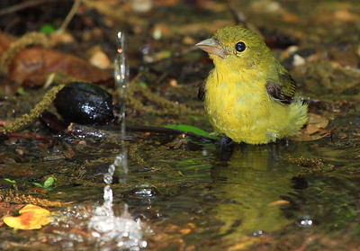 Best guess, with Scott Meyer's help, is a female Scarlet Tanager. Thanks, Scott!