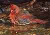 male Cardinal bathing.