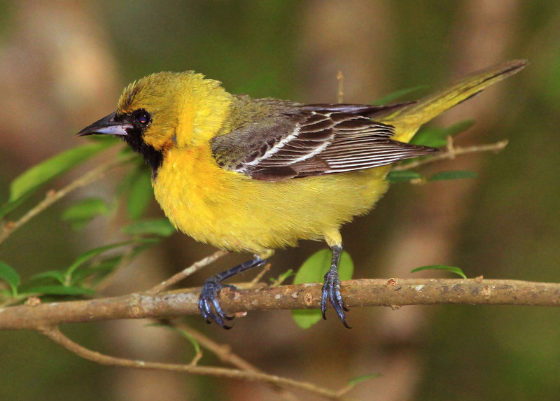male first year Summer Orchard Oriole.