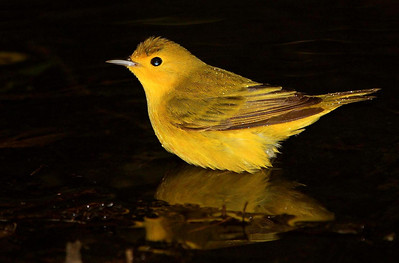 Yellow Warbler, taken at dusk. This flash photo was underexposed to avoid detail blowouts on the warbler, which darkened the water and surroundings even more that the real conditions.