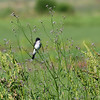 Eastern Kingbird, Anahuac National Wildlife Refuge