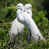 """Love Birds"", Great egrets, High Island, TX"