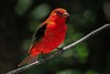 zzHigh Island 2015, May 3 063A, Scarlet Tanager