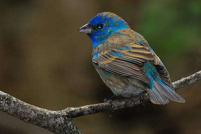 immature male Indigo Bunting