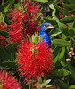 Indigo Bunting in Bottlebrush