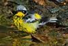 Magnolia Warbler, male