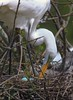 zzRookery, 3-25-2015, 338A, small70, Great Egret tending eggs