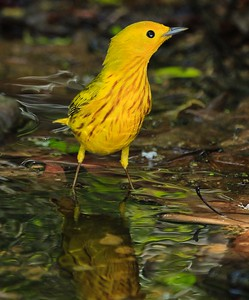 male Yellow Warbler