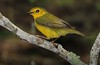 1st year male Hooded Warbler