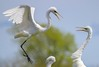 zzRookery, 3-25-2015, 175A, small, Egret landing and greeting
