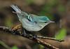 zzHigh Island 2015, April 23rd, 186A, female Cerulean Warbler