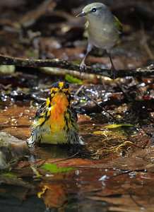 Blackburnian Warbler in front of a Tennessee Warbler