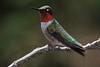 zzzHigh Island 2015, April 23rd, 058A, Ruby-throated Hummingbird