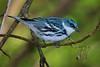 male Cerulean Warbler