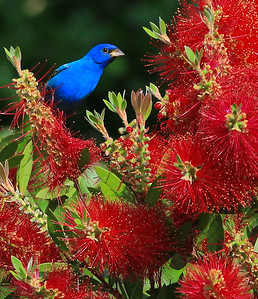 Indigo Bunting in Bottlebrush bush