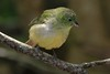 female Painted Bunting