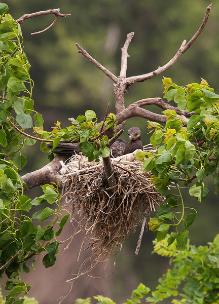 Cormorant chick, High Island, TX, May 1, 2010