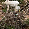 Great Egret tends her eggs, High Island, TX, May 1, 2010