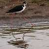 Black-necked Stilt, Anahuac National Wildlife Refuge, May 1, 2010