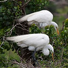 Great Egrets tend their nests, High Island, TX, May 1, 2010