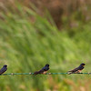 Barn Swallows, Anahuac National Wildlife Refuge, TX, May 1, 2010
